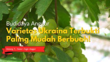 varietas-ukraina-terbukti-paling-mudah-berbuah